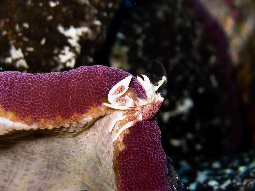 Anemone crab at the Similan islands reef