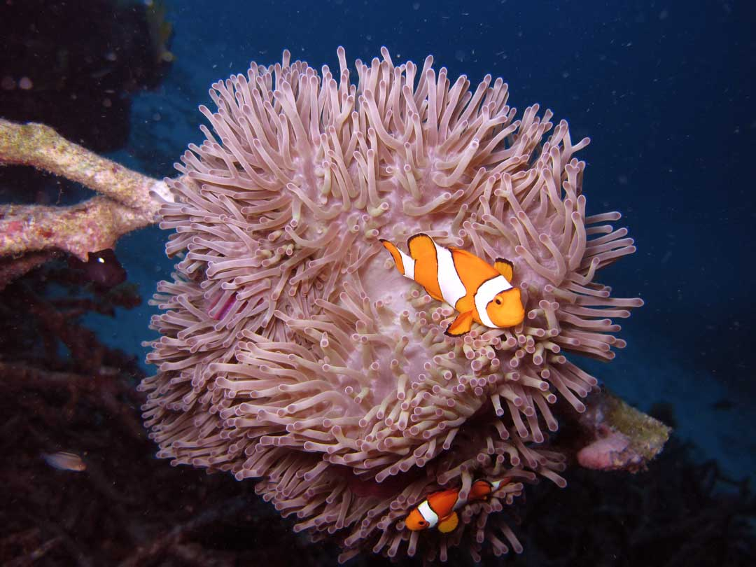 Sunset dive with fals clown anemonefish