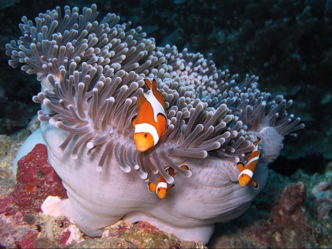 Anemone fish at the Khao lak dive sites