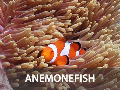 Photos of the Anemone fish in this Similan islands fish guide