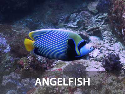 Photos of the Angelfish in this Similan islands fish guide