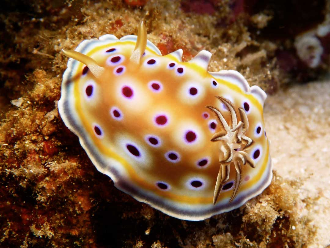 Nudibranch at the Khao Lak dive site Bangsak wreck