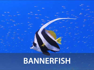 Bannerfish photos in the Similan islands fish guide