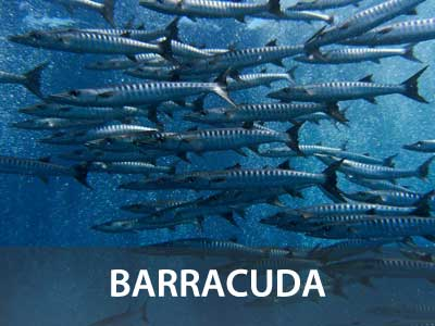 Photos of the bararacuda in this Similan islands fish guide