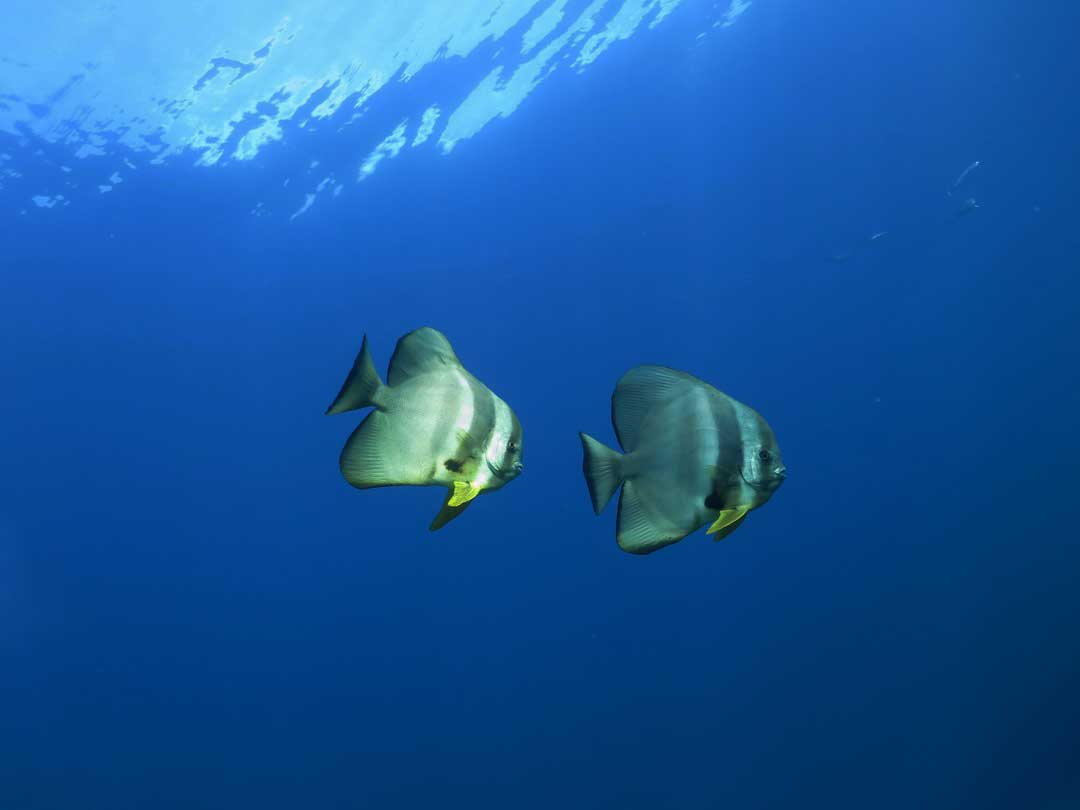In the blue at the Similan islands you can see the batfish