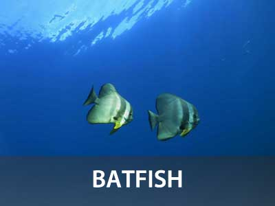 Batfish photos in this Similan islands fish guide