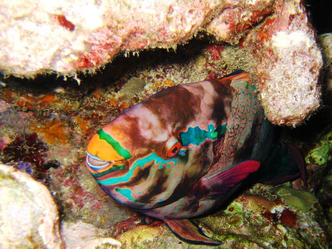 Bicolor Parrotfish at the Koh Similan national park