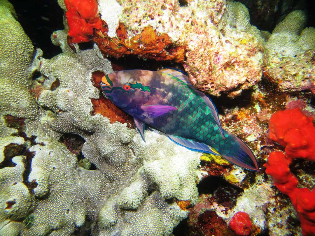 A great shot of the bicolor parrotfish at the Richelieu rock dive site