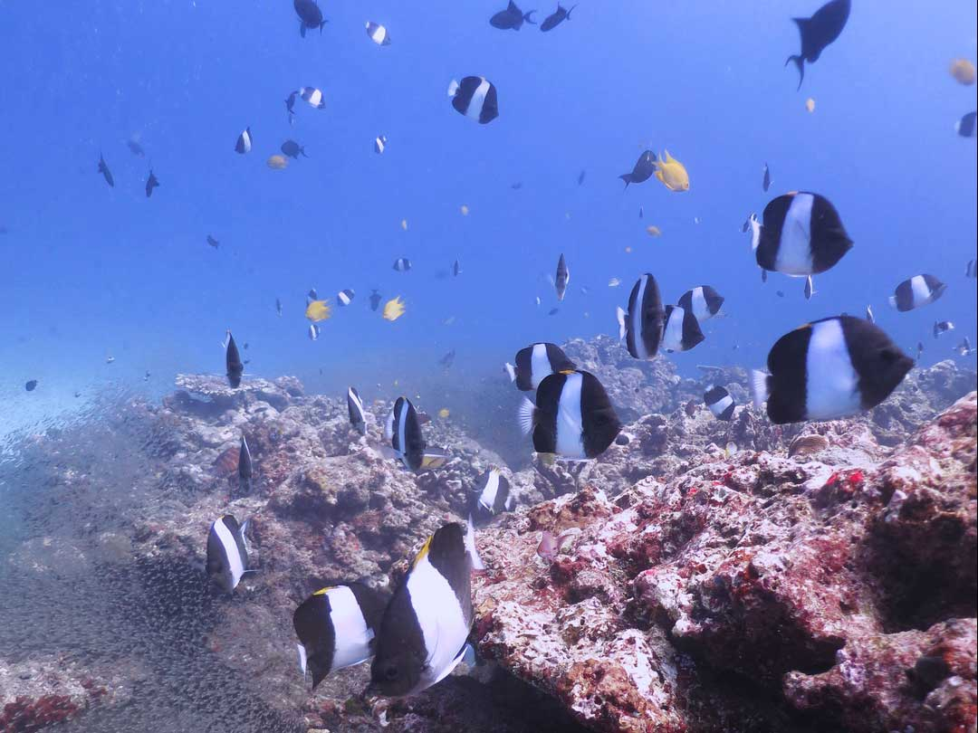 Black pyramid butterflyfish at the Koh Bon dive site