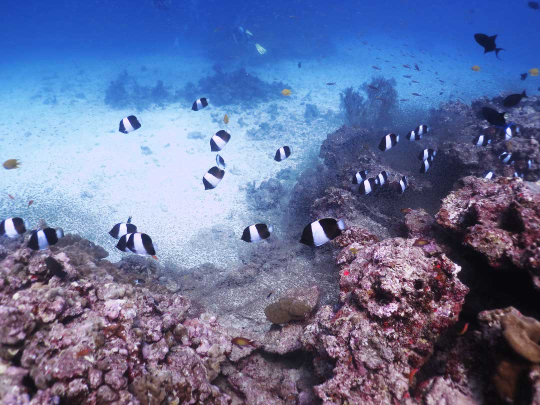 School of black pyramid butterflyfish at the Similan islands