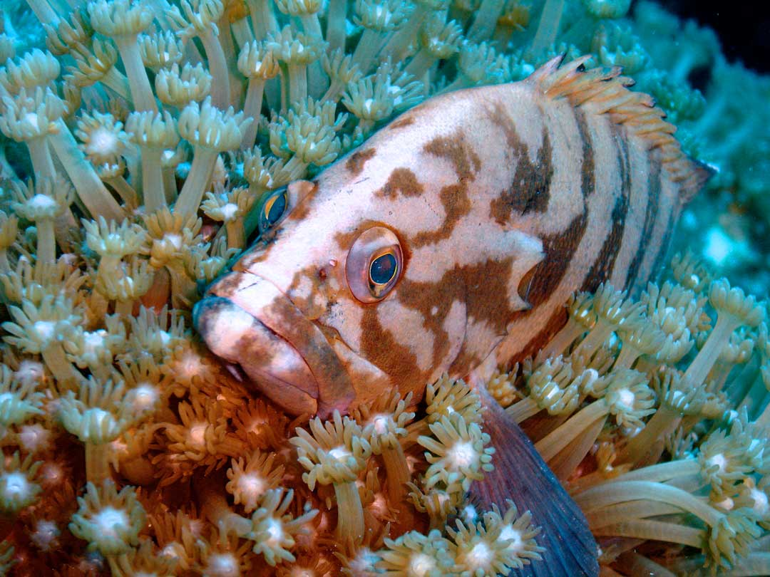 Blacktip grouper resting in a anemone at the Similan islands