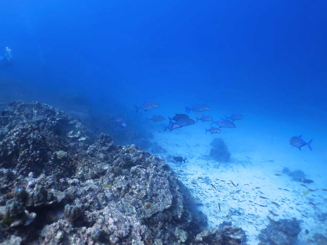 Scuba diving with Bluefin Trevally at the Similan islands