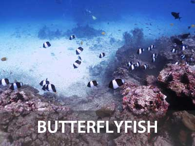 Photos of the butterflyfish in this Similan islands fish guide