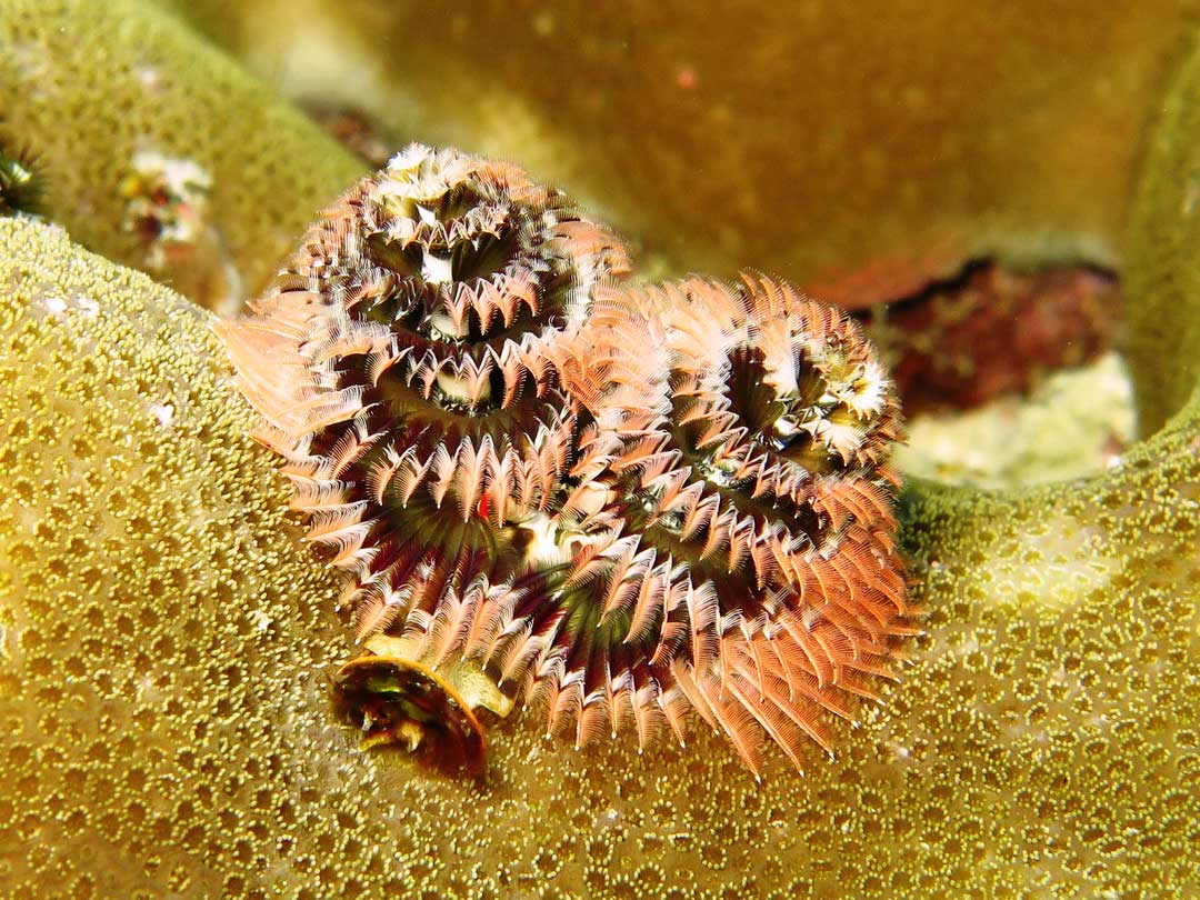 Christmas tree worm at Koh Bon