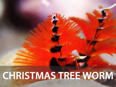 Photos of the christmas tree worm in this Similan islands fish guide