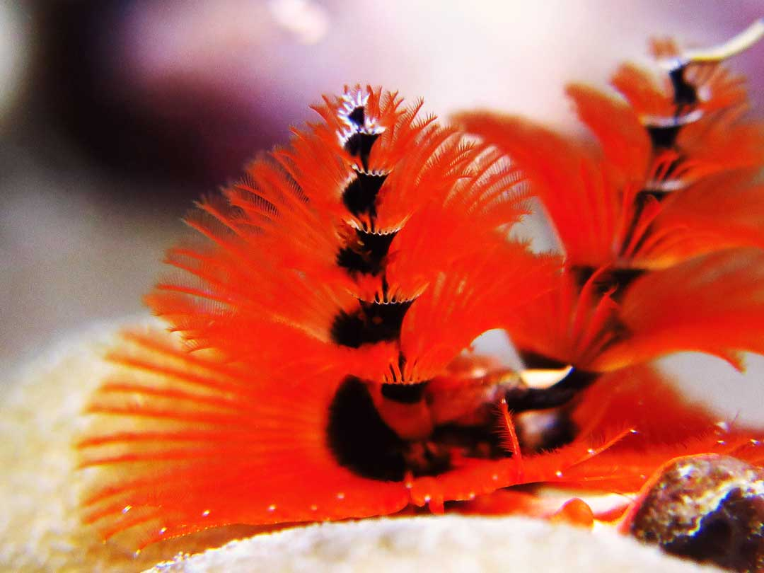 Christmas tree worm at the Similan islands dive sites
