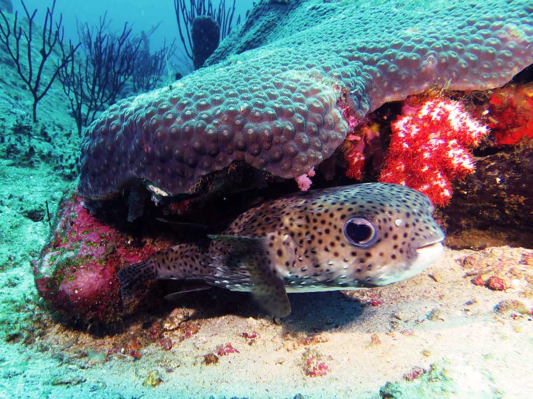 Common Porcupinefish at Koh Similan islands national park