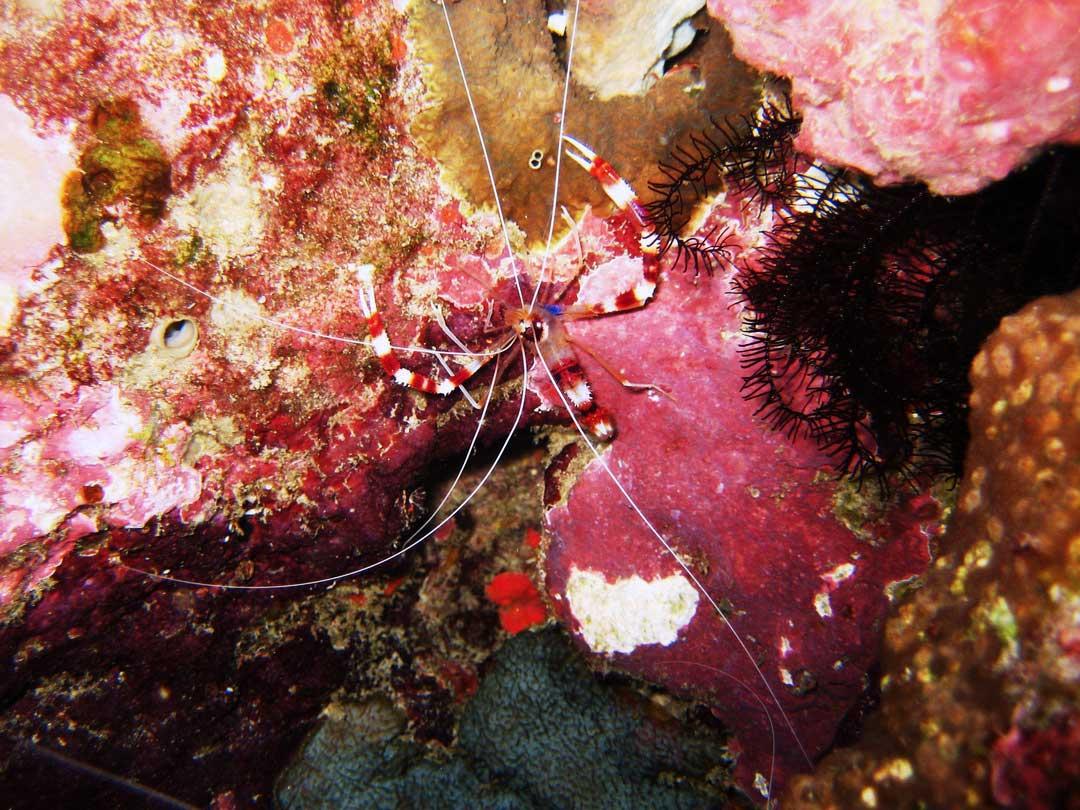Coral banded cleaner shrimp at Koh Bon dive site at Similan islands national park