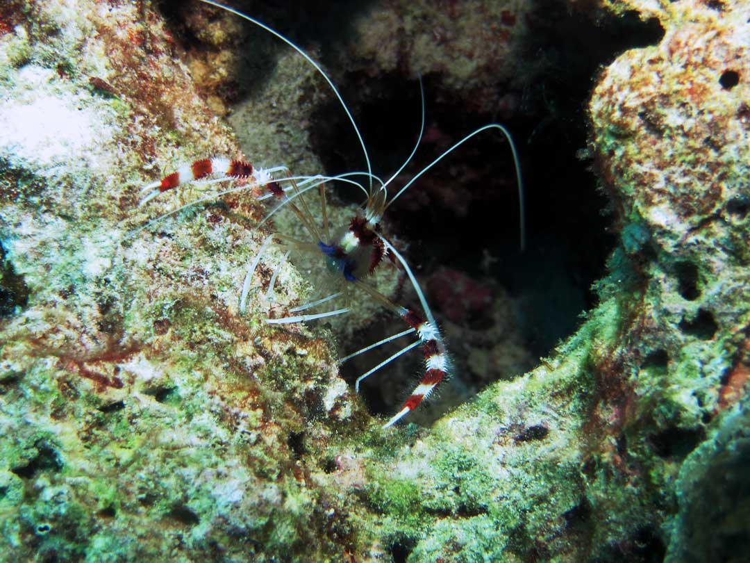 Coral banded cleaner shrimp at the Richelieu rock dive site