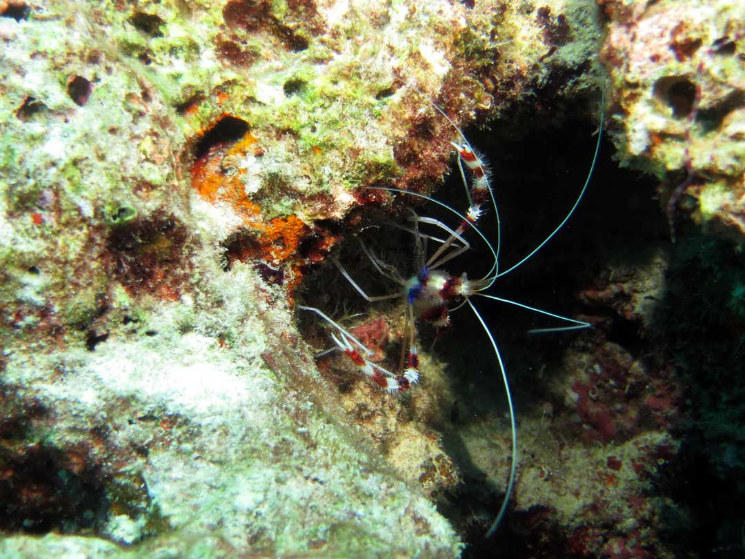 Coral banded cleaner shrimp seen on a Richelieu rock diving daytrip