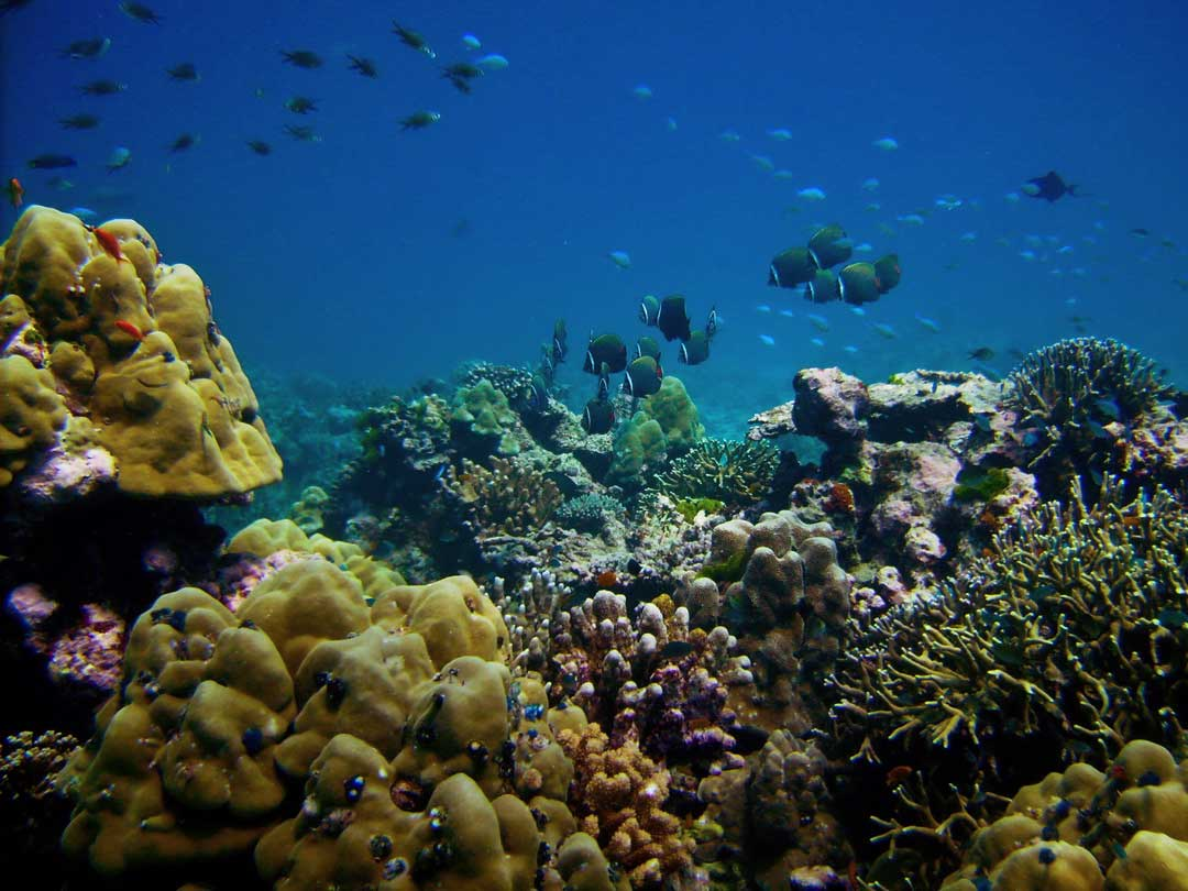 Corals at the Similan islands