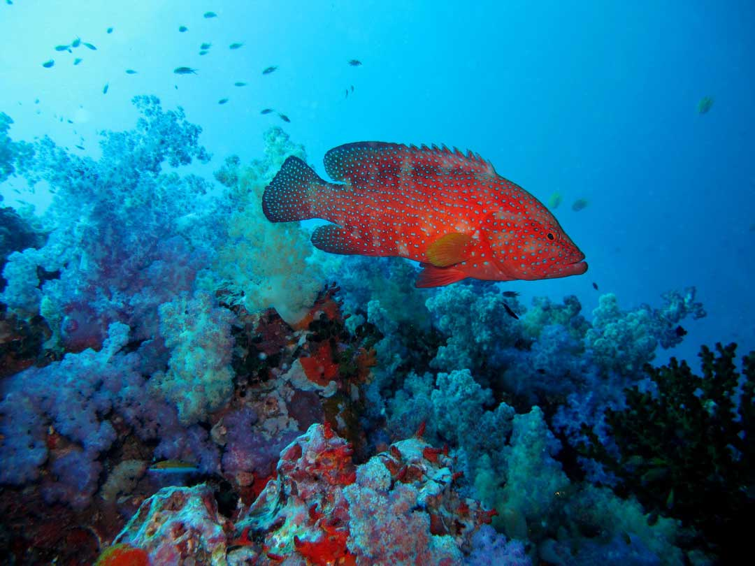 Join the best diving and watch the coral grouper passing by