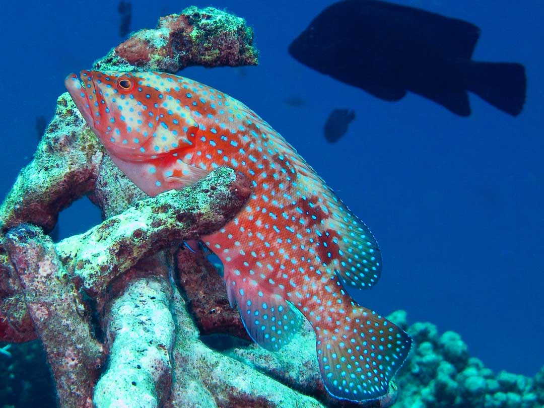 Coral grouper at the Koh Tachai dive site