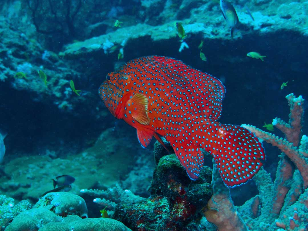 Coral grouper at the coral reefs at the Similan islands
