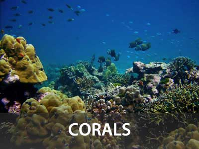 Photos of corals in this Similan islands fish guide