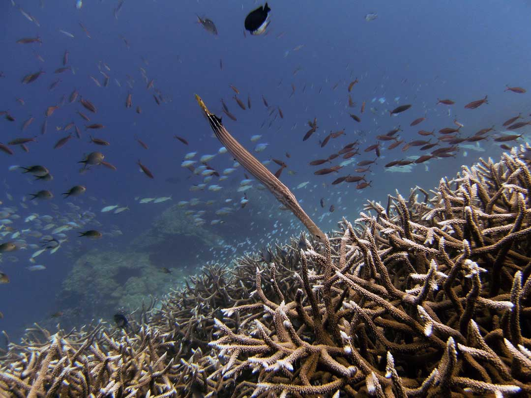 Cornetfish above the coral reefs at the Similan islands