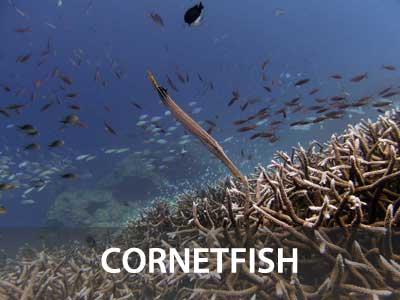 Photos of the cornetfish in this Similan islands fish guide