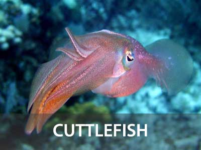 Photos of the cuttlefish in the Similan islands fish guide
