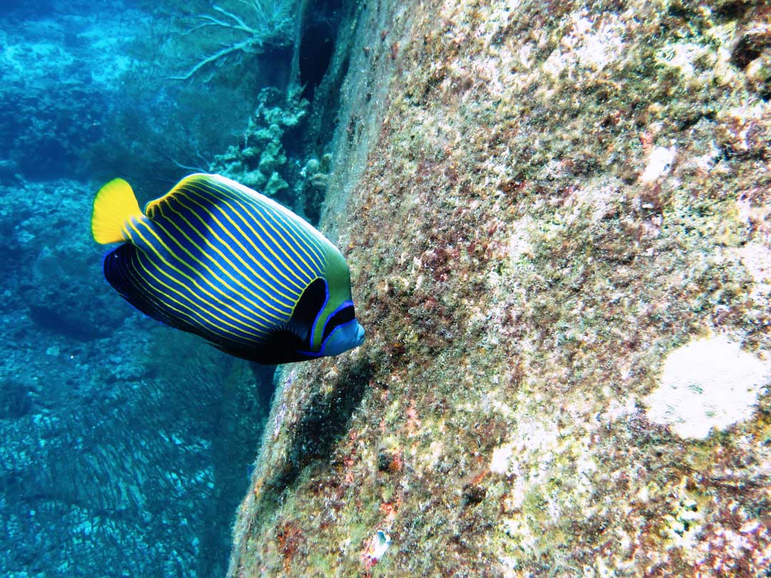 Emperor angelfish at the Similan islands