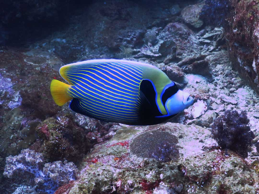 Emperor angelfish at Koh Bon