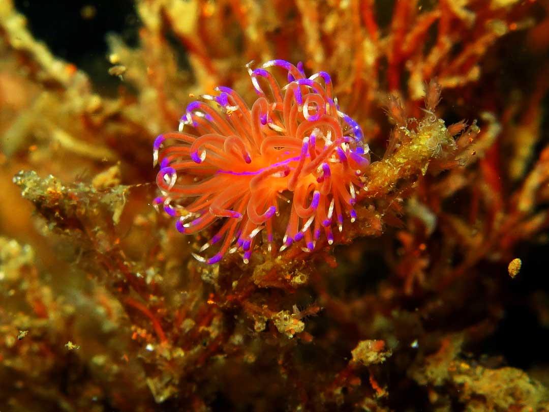 Sparkling nudibranch at Koh Similan