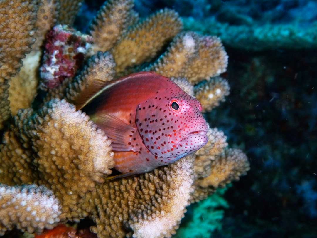 Foster hawkfish resting in the coral reefs at the Similan islands