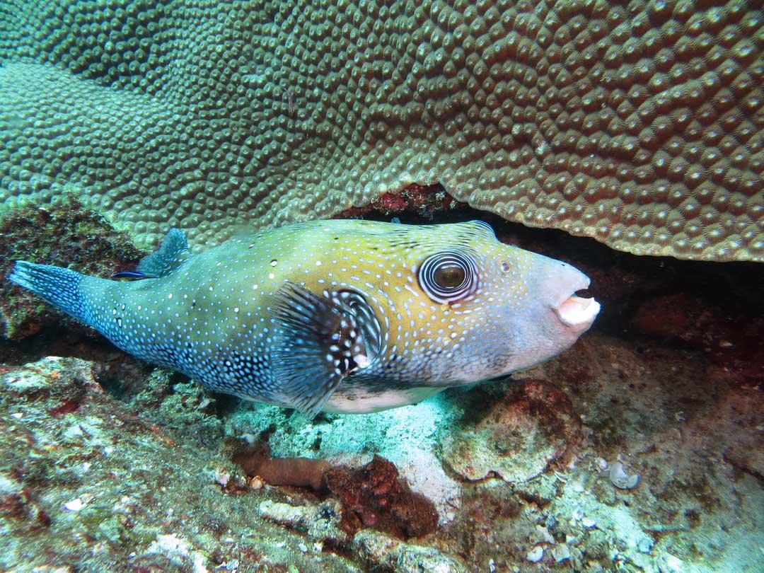 Giant pufferfish at Ko Similan islands national park