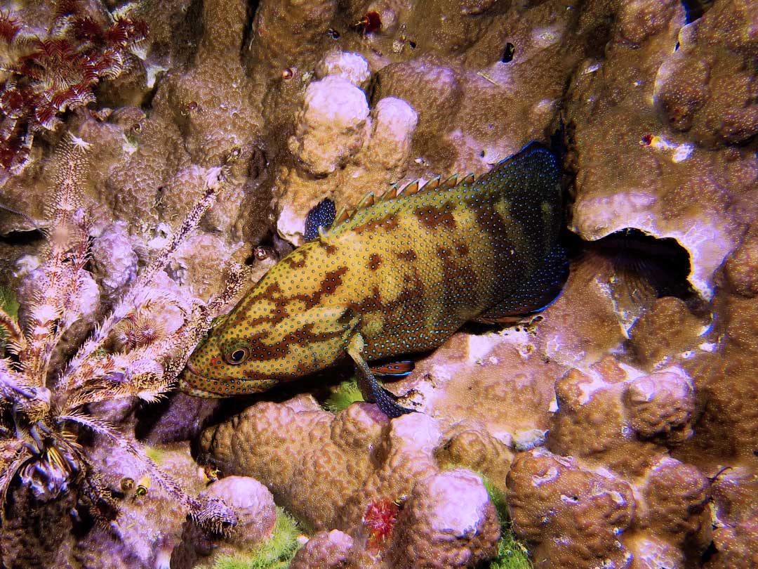 Great grouper swimming at the Similan islands