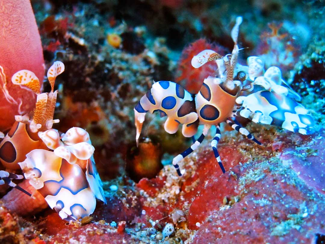 Harlequin shrimps on the reef at Richelieu rock