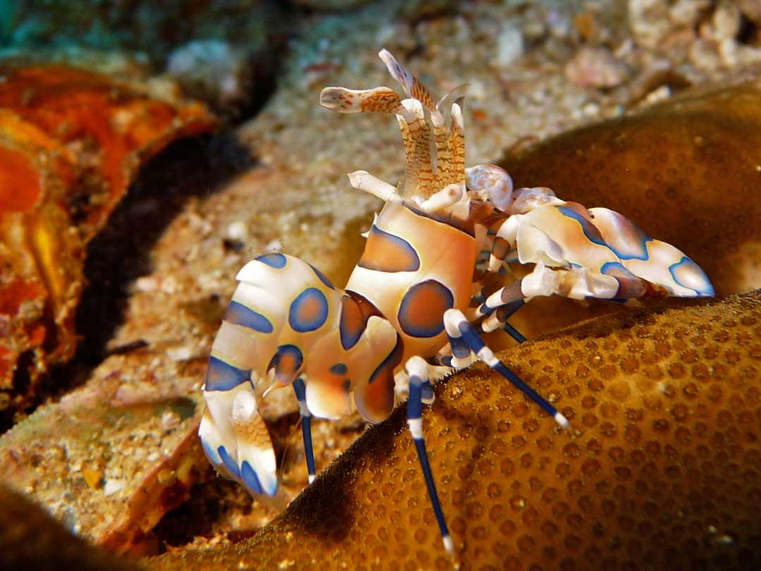 Harlequin shrimp at the Similan islands dive site Anita's reef