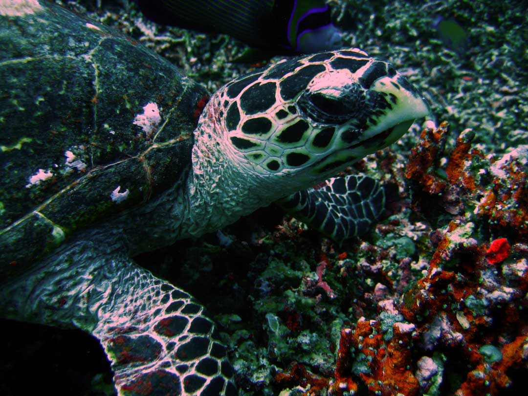 Hawksbill turtle at the Similan islands reefs