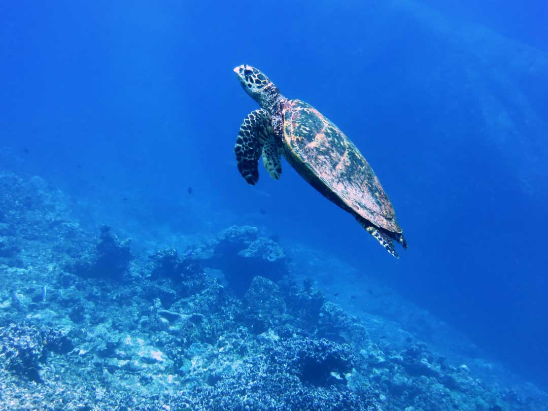 Hawksbill turtle swimming to the surface to breath