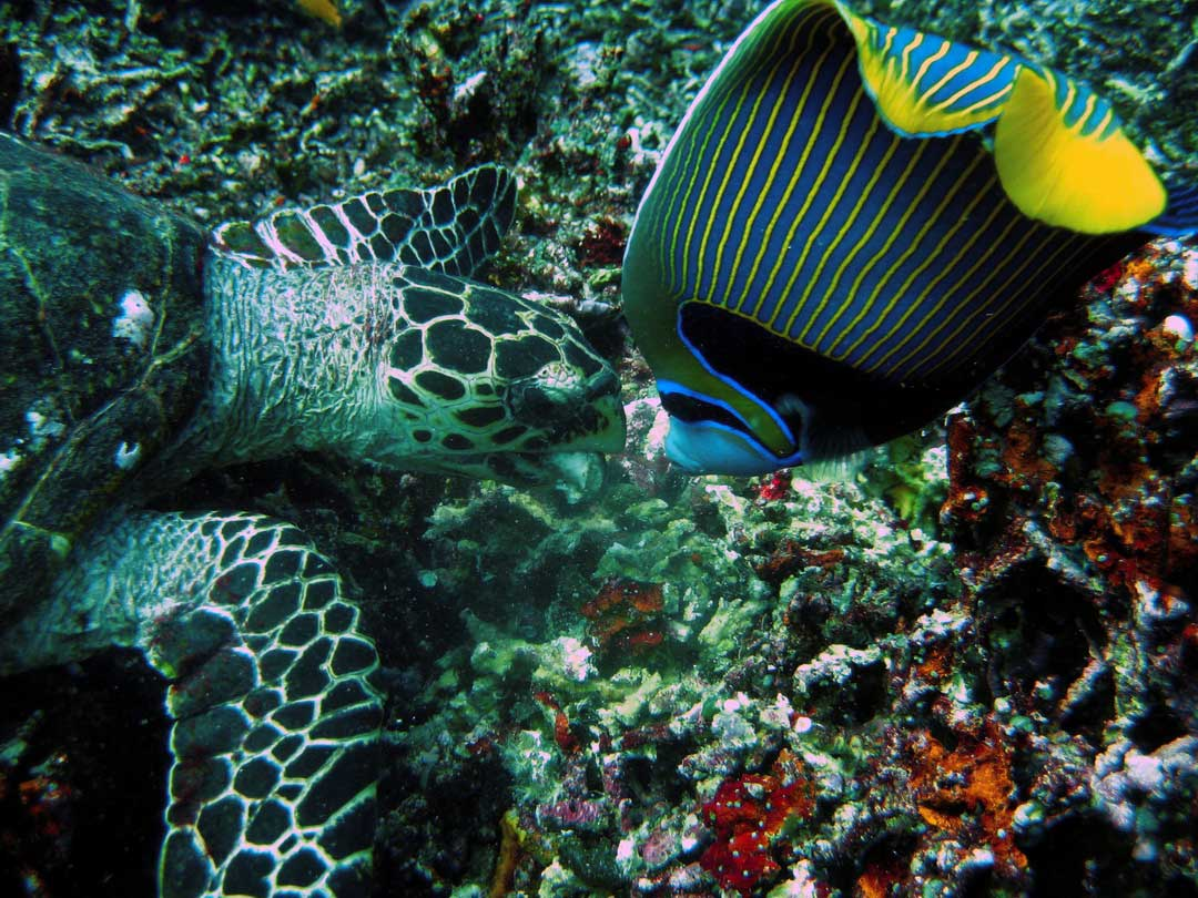 Hawksbill turtle and Emperor Angelfish looking for food at the Similan islands
