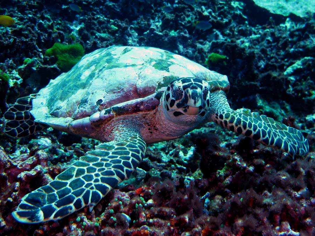 Hawksbill turtle swimming at the Similan islands