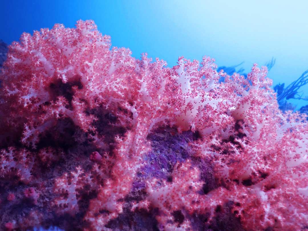 Hemprich's soft coral at Koh Bon