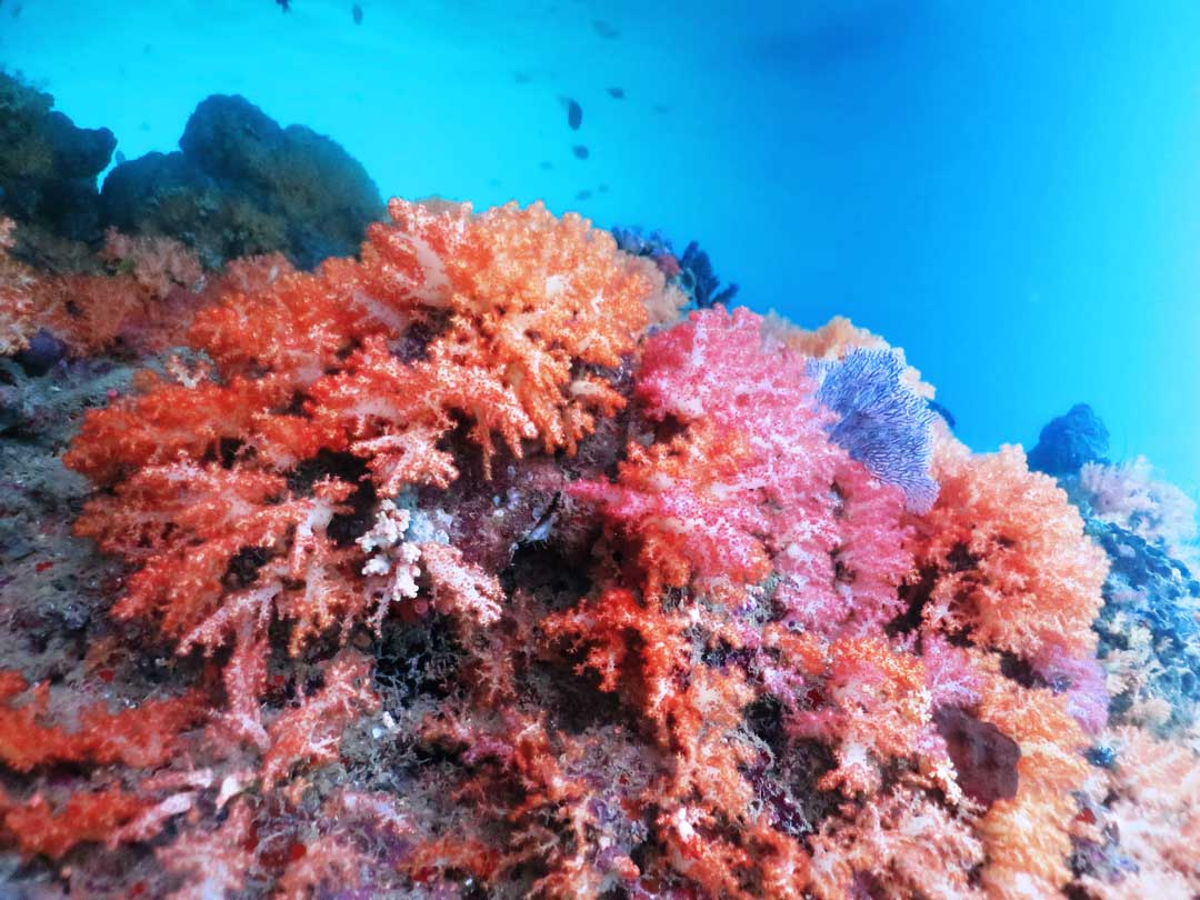 Richelieu rock is covered with soft corals