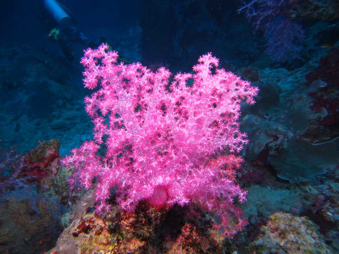 Hemprich's soft coral at Ko Similan islands Thailand