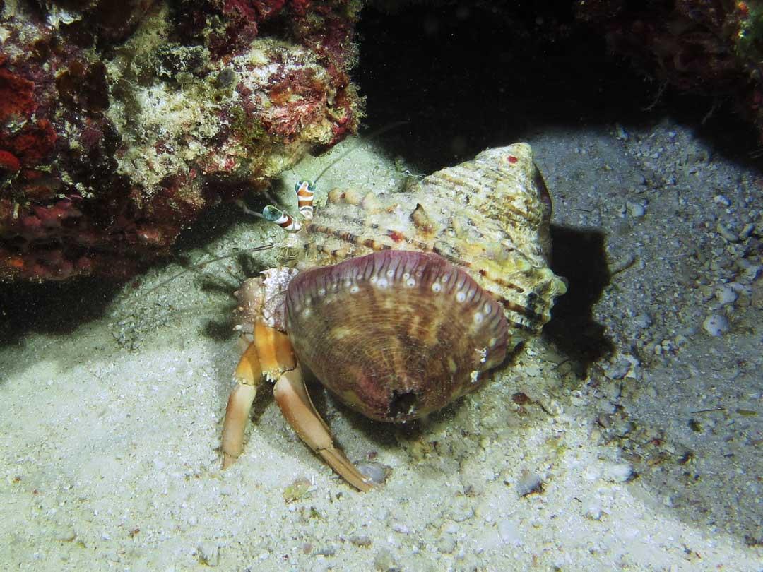 Hermit crab at the Similan islands