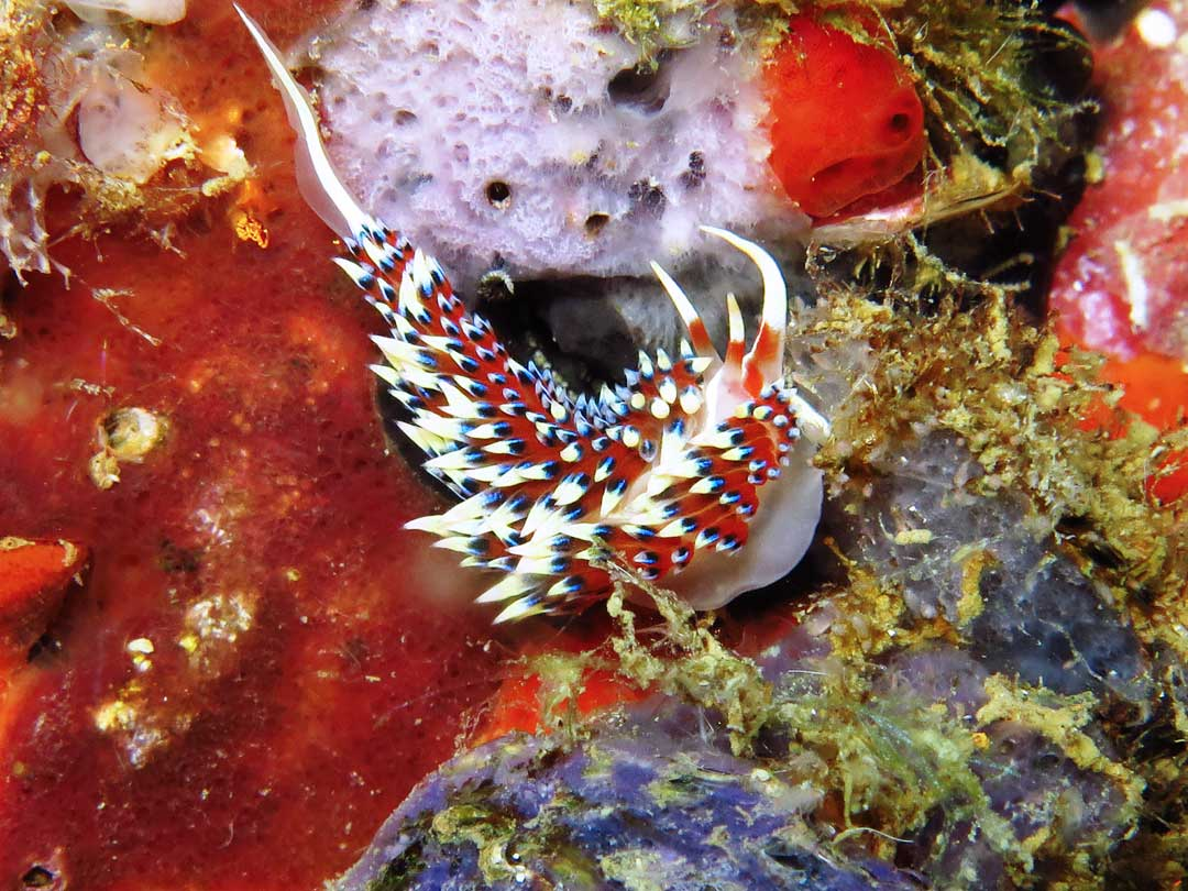 Koh Bon is a great diving site to see the nudibranch