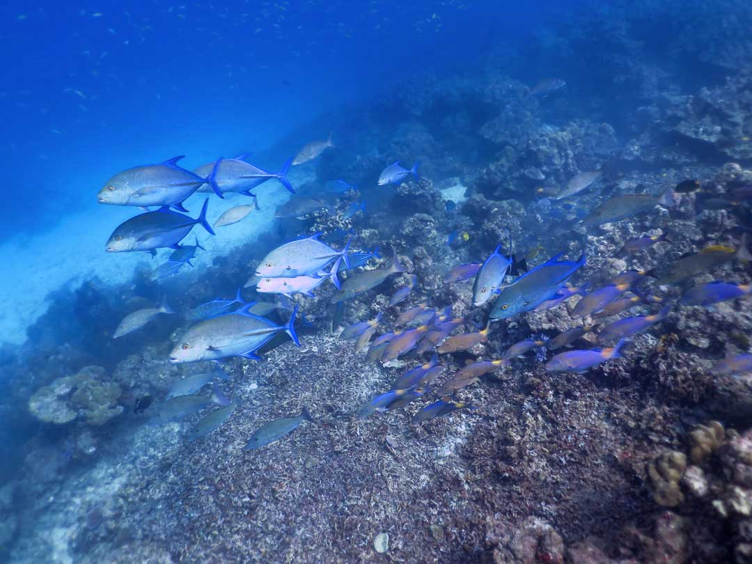 Koh Bon dive site with a school of Bluefin Trevally